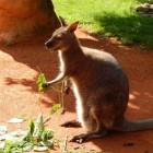 De Kangoeroe - een typisch buideldier
