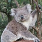 Alles over de koala