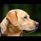 ADL-hond: hulp bij lichamelijke beperking