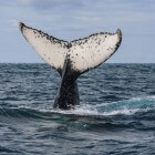 Bultrugstranding - Draaiboek walvisstrandingen