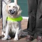 Mogelijkheden en onmogelijkheden van een blindengeleidehond