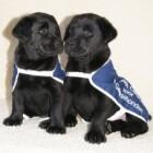 Puppypleeggezin voor een toekomstige blindengeleidehond
