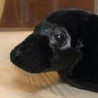 Melanisme: zwarte zeehond - zwarte panter - zwart schaap