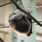 Vleerhonden of 'vliegende honden': familie van de vleermuis