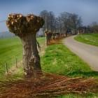 Wilgen knotten vooral voor behoud van typisch landschap