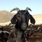 Domesticatie van de geit