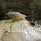 De cymothoa exigua: een tong-etende parasiet
