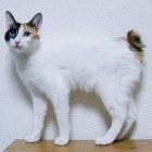 Raskatten: Japanse stompstaartkat