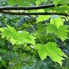 Suikeresdoorn (Acer saccharum): kleurrijke boom uit Canada