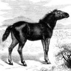 Paardenras: Tarpan
