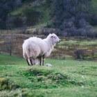 Blauwtongvirus in schapen en runderen