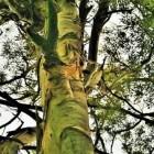De eucalyptusboom: de positieve eigenschappen van eucalyptus