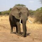 Safari op een Olifant