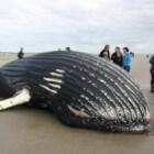 Bultrug op Ameland - walvis op het strand
