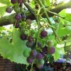 Druiven en rozijnen: levensgevaarlijke snacks voor honden
