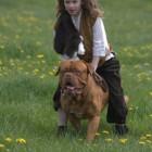 Hondenrassen: Bordeauxdog