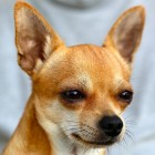 De Chihuahua, het kleinste hondenras ter wereld!