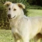 Het Aidi hondenras