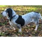 Hondenrassen: Basset Bleu de Gascogne