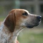 Hondenrassen: Engelse Foxhound