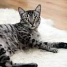 Ouderdom bij de kat: kwalen en aanpassen leefstijl