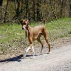 Hondenrassen: Azawakh (Afrikaanse windhond)