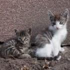 Kat als huisdier: kitten of volwassen kat