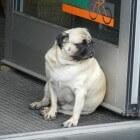 Huisdieren: Te dikke hond