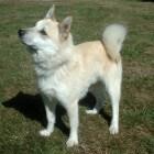 Hondenrassen: Noorse buhund
