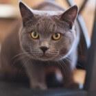 Voordelen van vachtverzorging van je kat