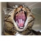 Waar je op moet letten bij de gebitsverzorging van je kat
