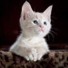 De ontwikkeling van de kitten van geboorte tot volwassenheid