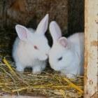Albino konijntjes; wat is waar?