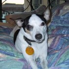 Hondenrassen: Amerikaanse Toy Terriër