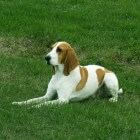 Hondenrassen: Berner Laufhund