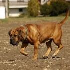 Boerboel: een groot en sterk hondenras uit Zuid-Afrika