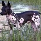 Hondenrassen: de Amerikaanse naakthond
