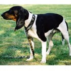 Ariégeois: een jachthond afkomstig uit Frankrijk