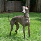Hondenrassen: het Italiaans windhondje