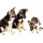 Jaloers gedrag bij honden
