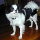Hondenrassen: Japanse spaniël