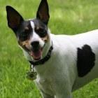 Hondenras uit de Verenigde Staten: de Rat Terriër