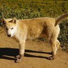 Groenlandse Hond: een sledehond en jachthond