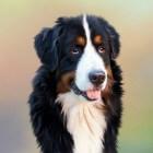 Als je hond last heeft van winderigheid