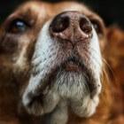 Neusafscheiding bij de hond