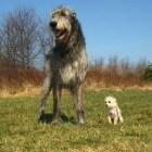 De Ierse Wolfshond: het grootste hondenras ter wereld