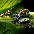 Mieren, de ideale huisdieren