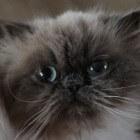 Eigenaardigheden van de Perzische kat