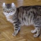 Kattenrassen: American Curl