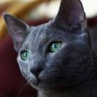 Kattenrassen: Blauwe Rus